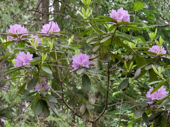 Rhododendron_catawbiense_-grandiflorum